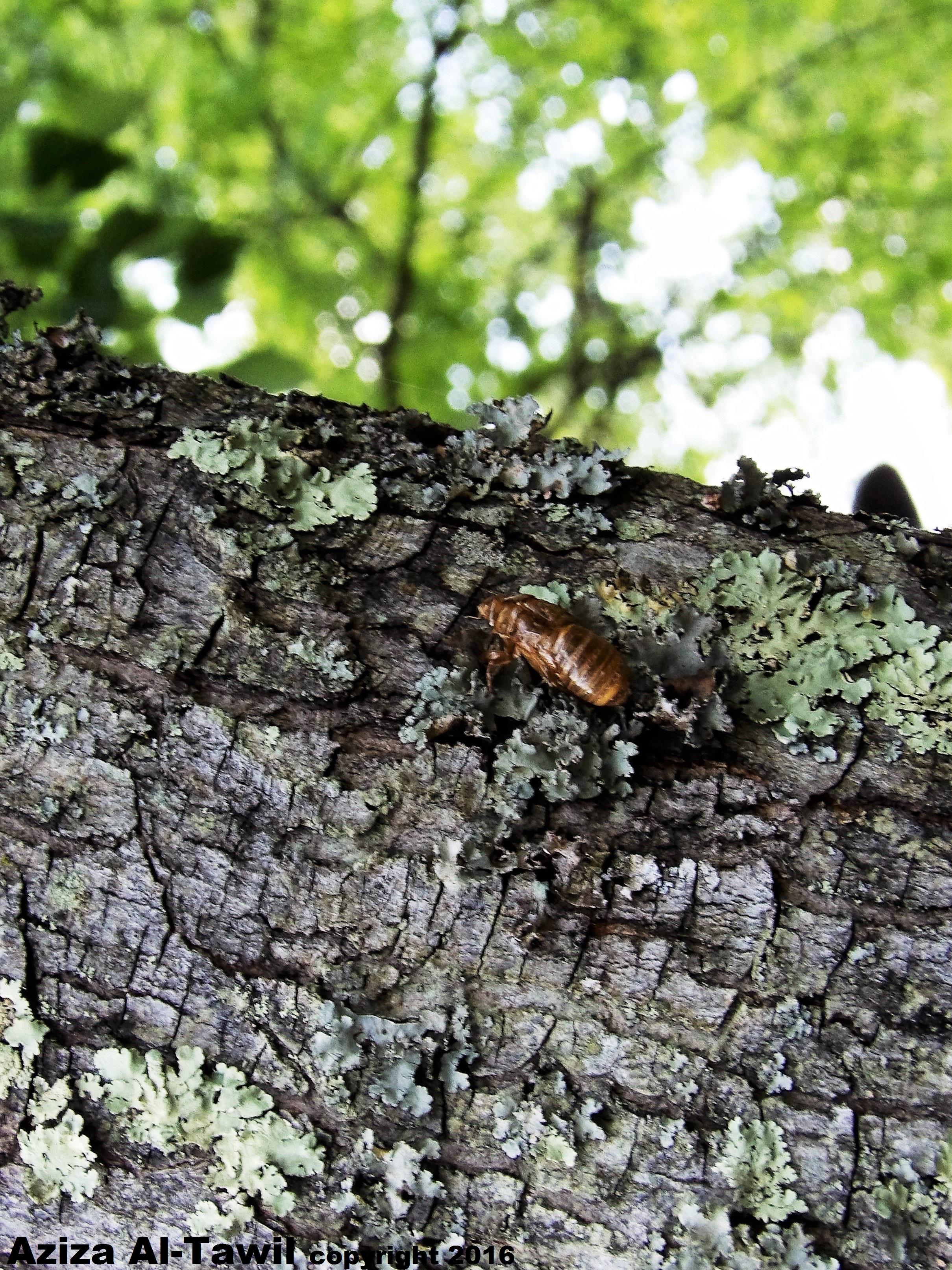 17 Year Cicada Shell 2.JPG