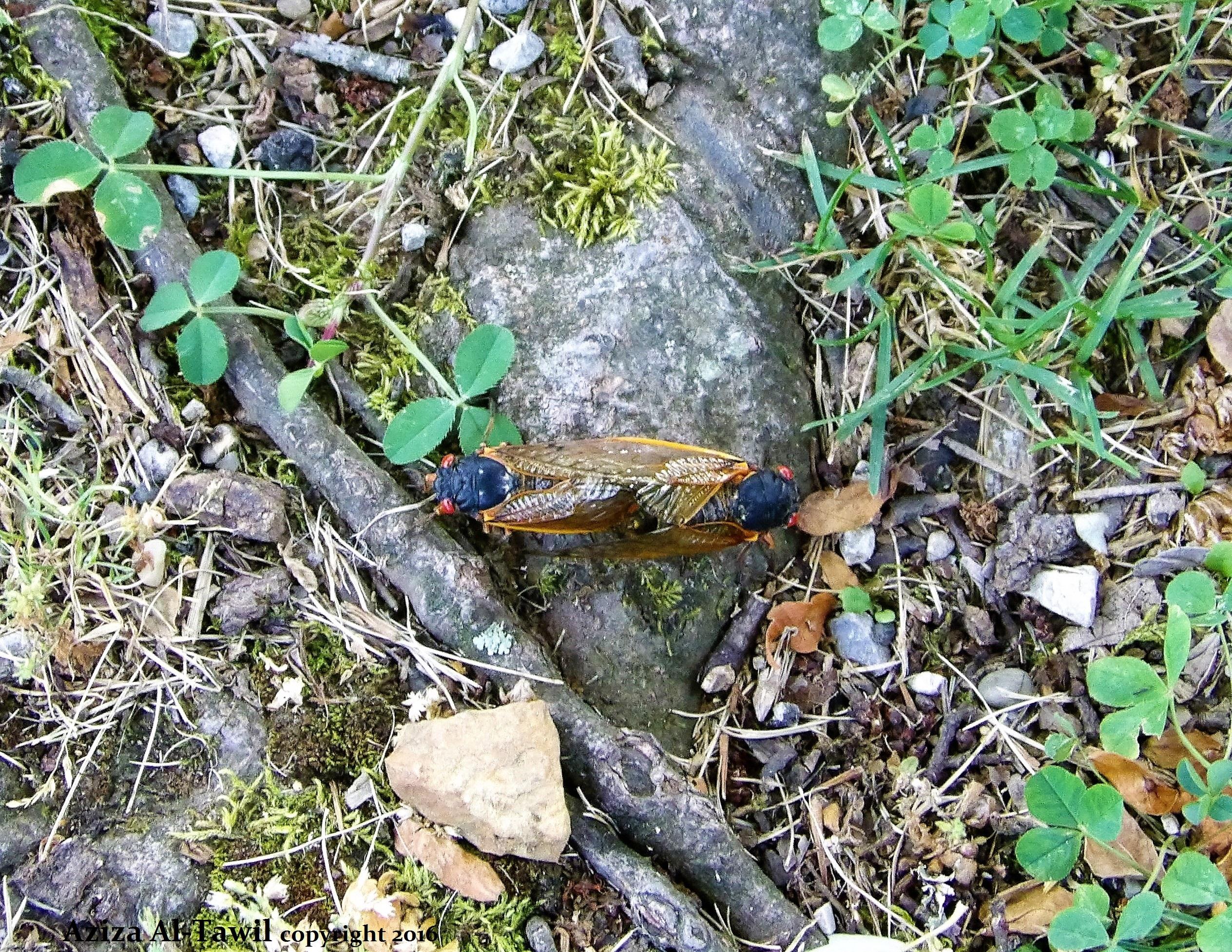 Cicada Mating on Rock.JPG